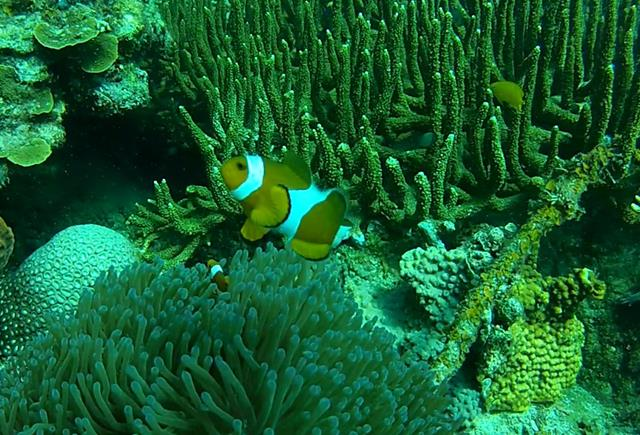 falseclownanemonefish (Copy)