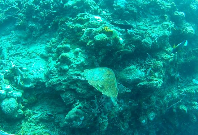 Turtle going at some coral