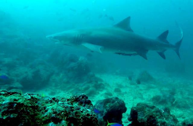Sicklefin lemon shark - sharks of Fiji