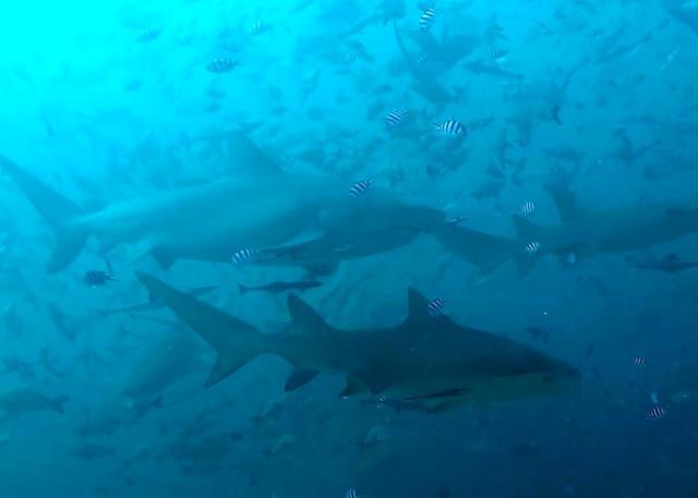sharks of Fiji