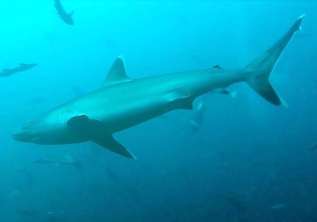 Silvertip shark, Fiji
