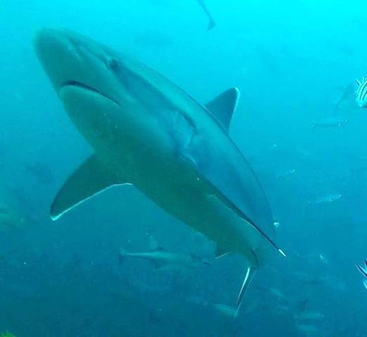 Silvertip shark - sharks of Fiji