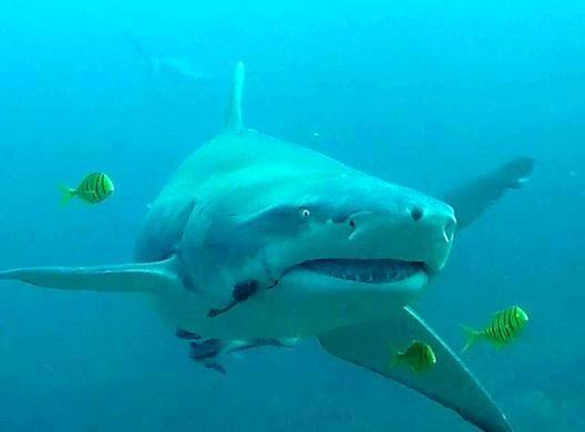 Sicklefin lemon shark, Fiji shark dive