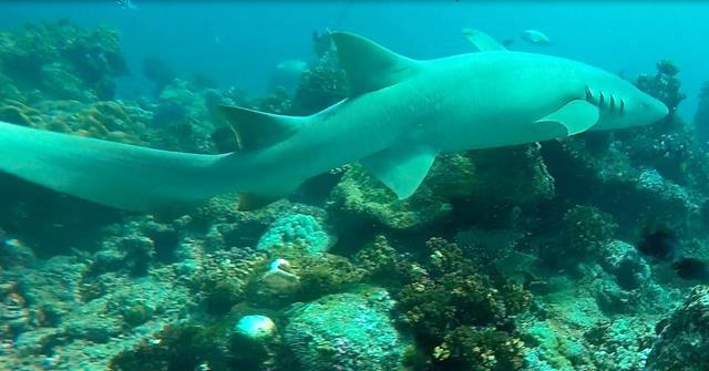 Tawny nurse shark - sharks of Fiji