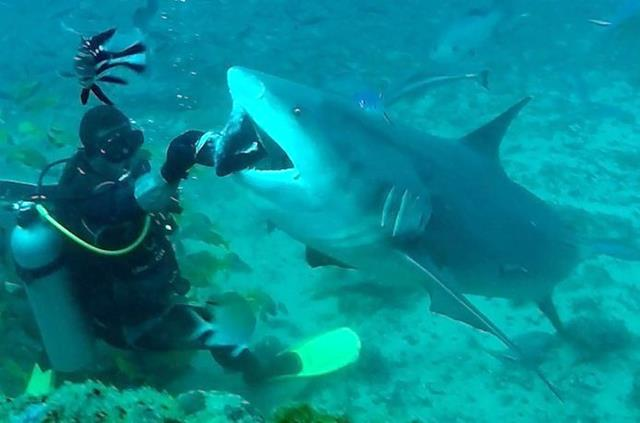 Bull shark, Beqa Adventure Divers - Fiji shark dives