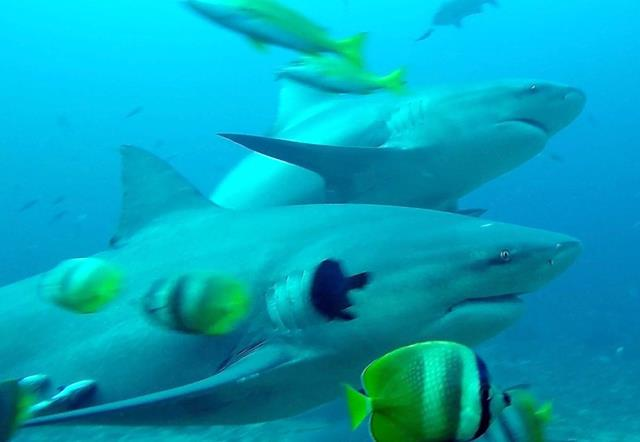 Bull shark - sharks of Fiji