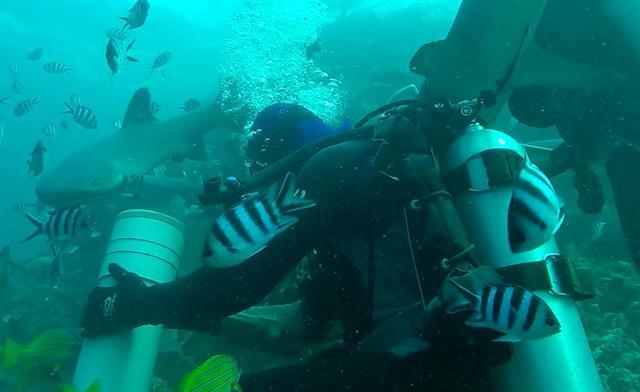 Whitetip reef shark - Beqa Adventure Divers, Fiji shark dive