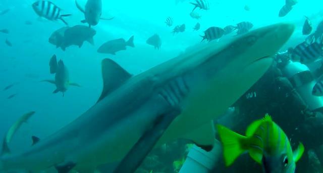 Grey reef shark - sharks of Fiji