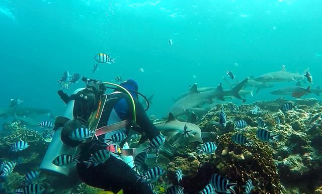 Whitetip and blacktip reef sharks - Fiji shark dive
