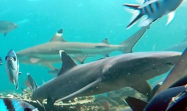 Whitetip reef shark ad blacktip reef shark - sharks of Fiji
