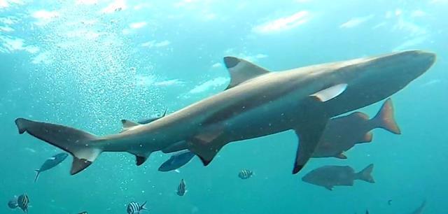 Blacktip reef shark - sharks of Fiji