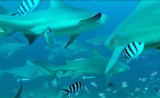 Bull sharks, Fiji