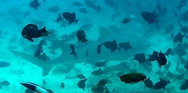 Lemon shark - Fiji shark dive