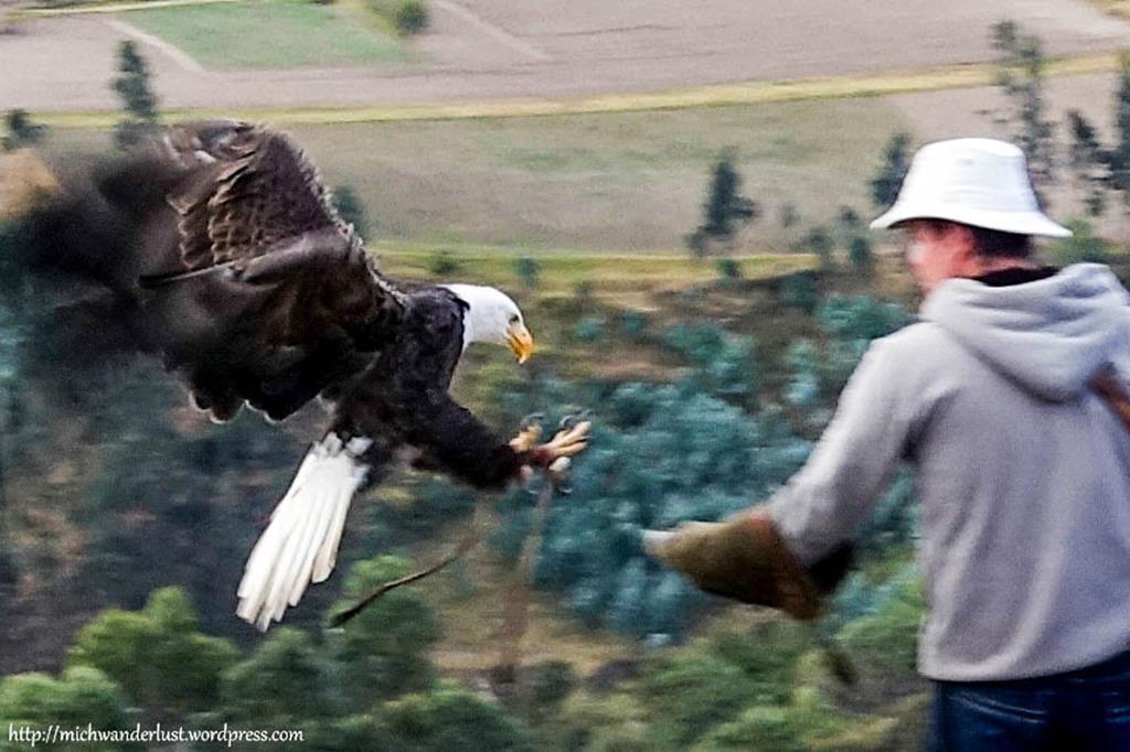 Bald eagle at Parque Condor, Otavalo, Ecuador