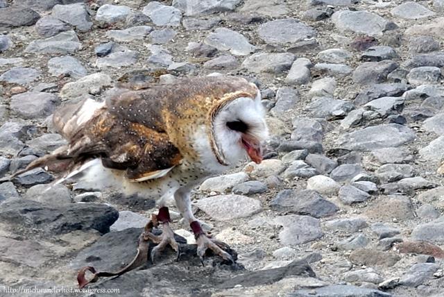 Barn owl at Parque Condor, Otavalo, Ecuador