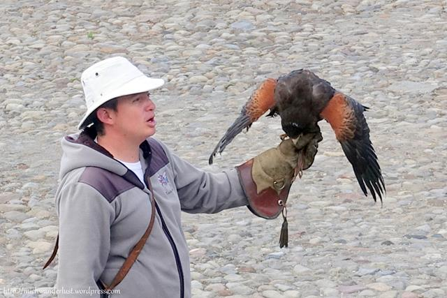 Harris hawk at Parque Condor, Otavalo, Ecuador