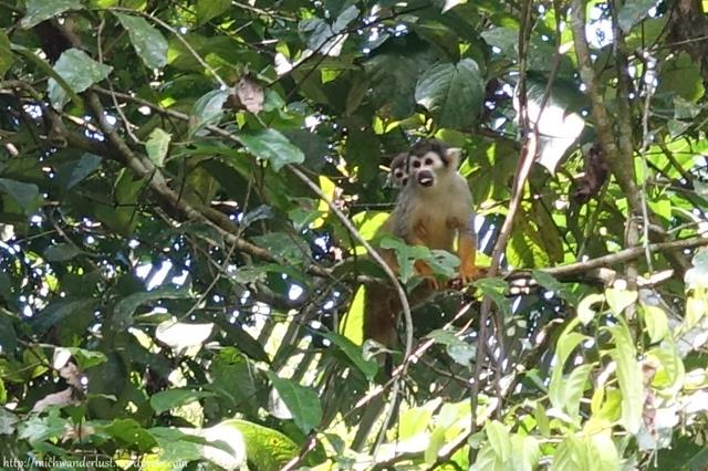 Squirrel monkey, Cuyabeno Nature Reserve, Ecuador
