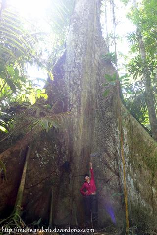 400-year-old tree | Cuyabeno Nature Reserve Tour with Nicky Lodge | Ecuador