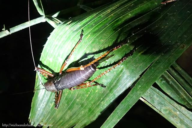 Lobster cricket | Cuyabeno Nature Reserve Tour with Nicky Lodge | Ecuador
