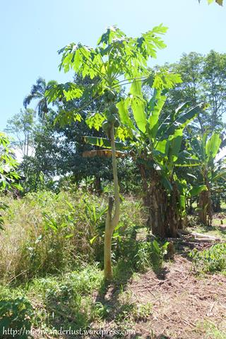 Papaya tree, Cuyabeno Nature Reserve with Nicky Lodge | Ecuador | Amazon