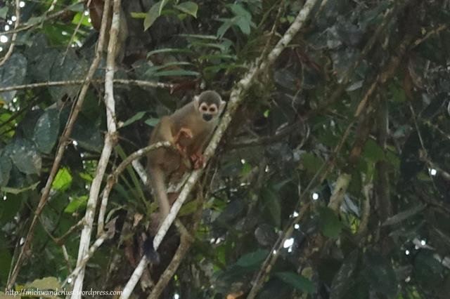 Squirrel monkey, Cuyabeno Nature Reserve with Nicky Lodge | Ecuador | Amazon