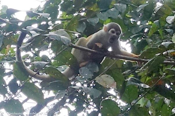 squirrel monkey in Cuyabeno Nature Reserve, the Amazon, Ecuador