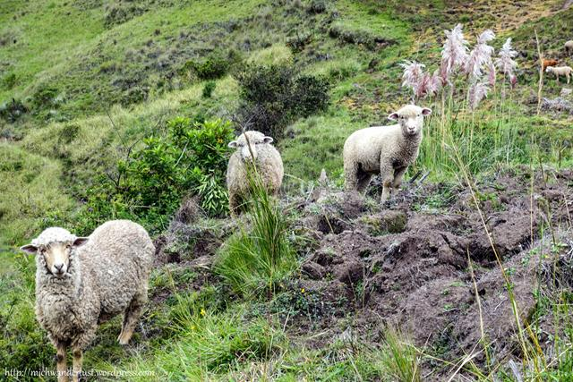 Chugchilán to Quilotoa sheep