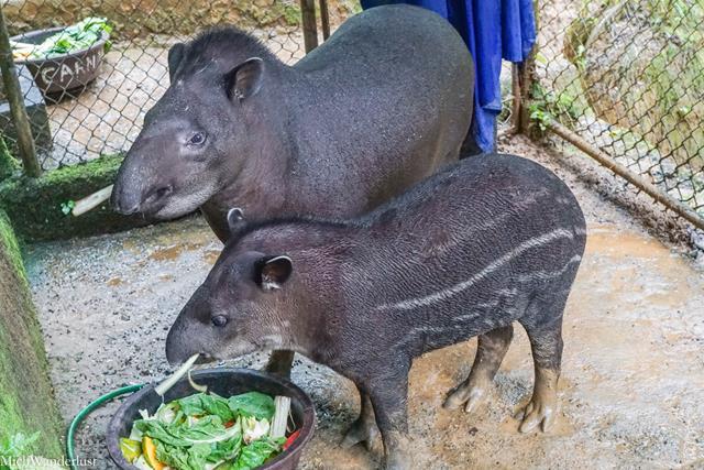 Tapirs, Amazoonico, Ecuador
