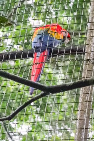 Scarlet macaw, Amazoonico, Ecuador
