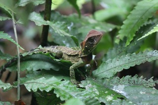 Lizard, Amazon