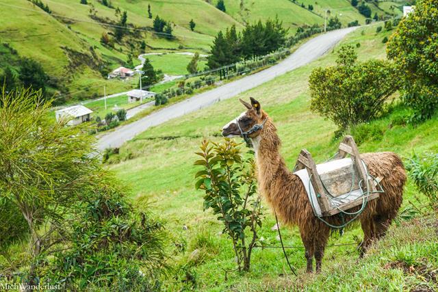Llama, Salinas de Guaranda, Ecuador