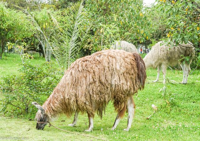 Llamas, Archaeological Park, Museo Pumapungo, Cuenca, Ecuador