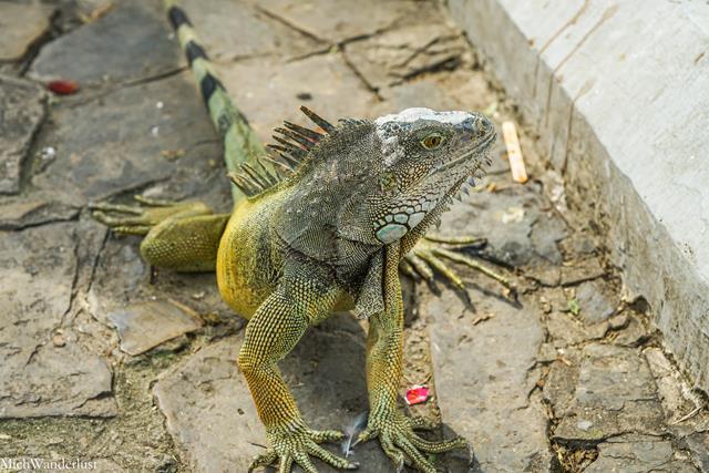 Iguana in Parque Bolivar, Guayaquil, Ecuador